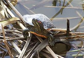 La tortuga de Florida con la mancha naranja