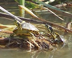 Dos tortugas de orejas amarillas