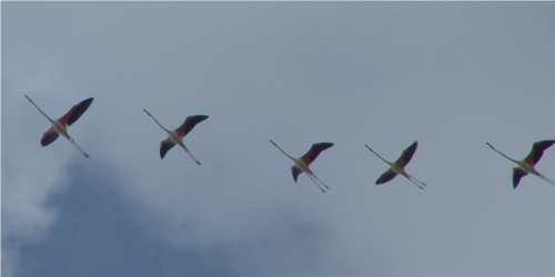 Cinco flamencos sobrevolando la Reserva
