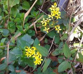 Flor amarilla pendiente de clasificar