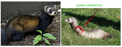 Diferencias entre un turón-animal salvaje- y el hurón-animal doméstico.