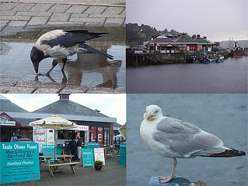 La ciudad costera escocesa de Oban proporciona mucho alimento a gaviotas argénteas europeas y cornejas cenicientas. Bueno y si pagas, también para los humanos ;) Shellfish a tope!