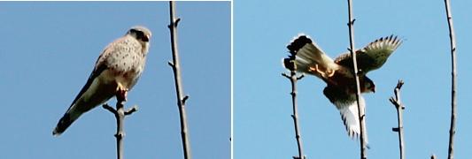 En la ciudad de París el cernícalo vulgar nidifica y se alimenta principalmente de aves de pequeño tamaño. (Mare -estanque- Saint James en el bosque de Boulogne)