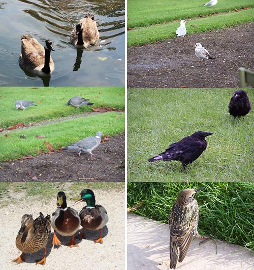 Los parques de París son un bullidero de especies. Podemos encontrar barnaclas cariblancas, gaviotas reidoras (1 adulta y 1 de 2º año-calendario), palomas torcaces, cornejas negras, ánades azulones (2♂. 1♀) y estorninos pintos.