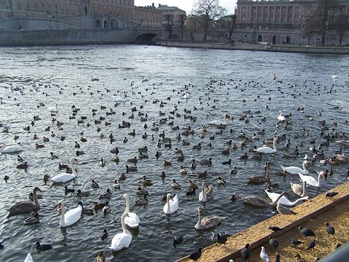 Aquí el propio ayuntamiento alimenta a los animales durante las épocas más frías (esta foto es de Febrero del 2014) Los cisnes conviven con azulones, fochas, gaviotas, porrones moñudos y gaviotas.