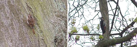 Agateador norteño (Certhia familiaris) y pico picapinos (Dendrocopos major) en un bosque cercano a Musselburgh (ciudad cercana a Edimburgo)