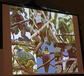 Las palomas en Nueva Guinea son una explosión de colores.