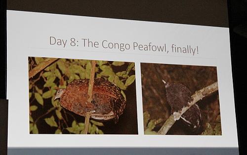 El pavo del Congo (Afropavo congensis) es un ave endémica del país africano y muy complicada de ver.