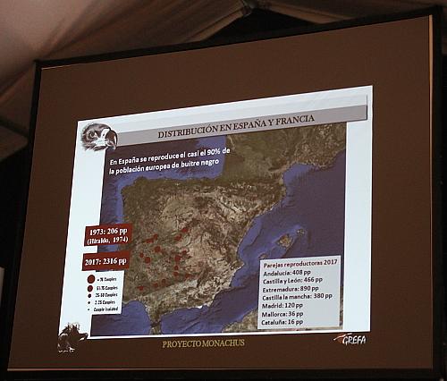 En España se concentra el 90% de la población europea de buitre negro. Los puntos rojos corresponden al número de parejas reproductoras en el 2017 dónde en Extremadura tenían el máximo: 890 parejas!!