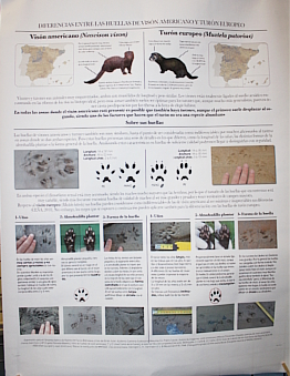 POSTER 4. Cheat sheet to differentiate the European mink and the European polecat.